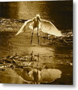 Snowy Egret Landing With Golden Tones Metal Print