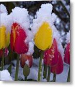 Snowy Tulips Metal Print