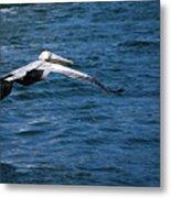 Soaring Pelican Metal Print
