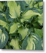 Splashy Hosta Metal Print by Lillian Davis