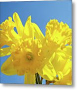 Spring Daffodils Flowers Garden Blue Sky Baslee Troutman Metal Print