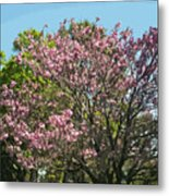 Spring Magnolia In Winter Park  Metal Print