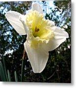 Spring's First Daffodil 3 Metal Print