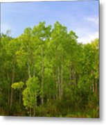 Stand Of Quaking Aspen Trees Metal Print