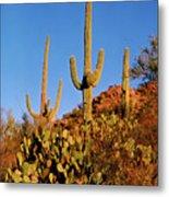 Stately Saguaros Metal Print