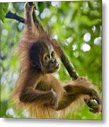 Sumatran Orangutan Pongo Abelii Baby Metal Print by Suzi Eszterhas