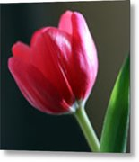 Sun Kissed Tulip I Metal Print