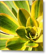 Sunburst Succulent Close-up 2 Metal Print