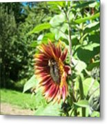 Sunflower 137 Metal Print