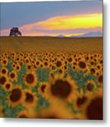 Sunflower Field Metal Print by Lightvision, LLC