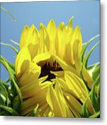 Sunflower Opening Sunny Summer Day 1 Giclee Art Prints Baslee Troutman Metal Print