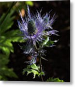 Sunlit Bloom Of Alpine Sea Holly Metal Print