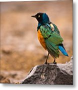 Superb Starling Metal Print by Adam Romanowicz