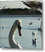 Swan And Gulls  Metal Print