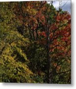 Tall Fall Trees Metal Print