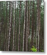 Tall Pines After The Rain Metal Print