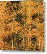 Tamarack Foliage Metal Print