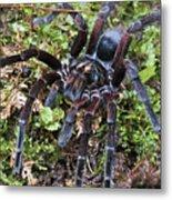 Tarantula Pamphobeteus Sp Male, Mindo Metal Print