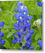 Texas Bluebonnets Metal Print