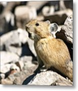The Call Of The Pika Metal Print