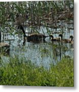 The Canadian Geese Family Metal Print
