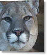 The Cougar 3 Metal Print