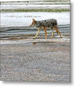The Coyote - Dogs Are By Far More Dangerous Metal Print