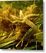 The Dancing Starfish Metal Print
