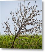 The More The Merrier- Tree Swallows  Metal Print