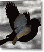 The Robin Flight  Metal Print