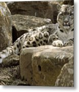The Watchful Stare Of A Snow Leopard Metal Print