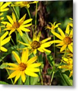 Thin-leaved Sunflower Metal Print