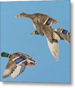 Three Mallards Metal Print