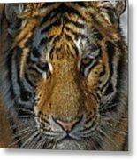Tiger 5 Posterized Metal Print