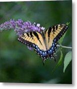 Tiger Swallowtail Female On Butterfly Bush Flowers Metal Print