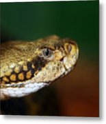Timber Rattler Head On Metal Print