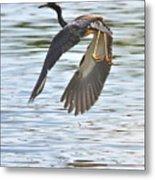 Tri Colored Heron Over The Pond Metal Print