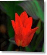 Tulip 0058 Metal Print