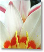 Tulip Flowers Art Prints 4 Spring White Tulip Flower Macro Floral Art Nature Metal Print