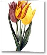 Tulip (tulipa Gesneriana) Metal Print