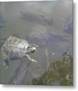 Turtle Amongst Fish Metal Print