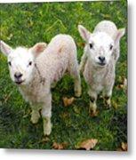 Twins - Spring Lambs Metal Print
