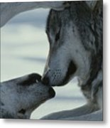 Two Gray Wolves, Canis Lupus, Touch Metal Print by Jim And Jamie Dutcher