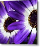 Two Purple N White Daisies Metal Print