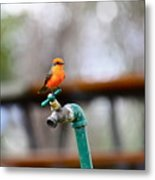 Vermilion Flycatcher Two Metal Print