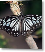 Waiting --- Rice Paper Butterfly Metal Print