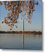Washington Monument With Cherry Blossoms Metal Print by Megan Cohen