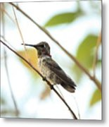 Watchful Hummingbird Metal Print