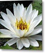 Water Lily 1 Metal Print