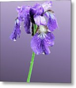 Wet Russian Iris Metal Print